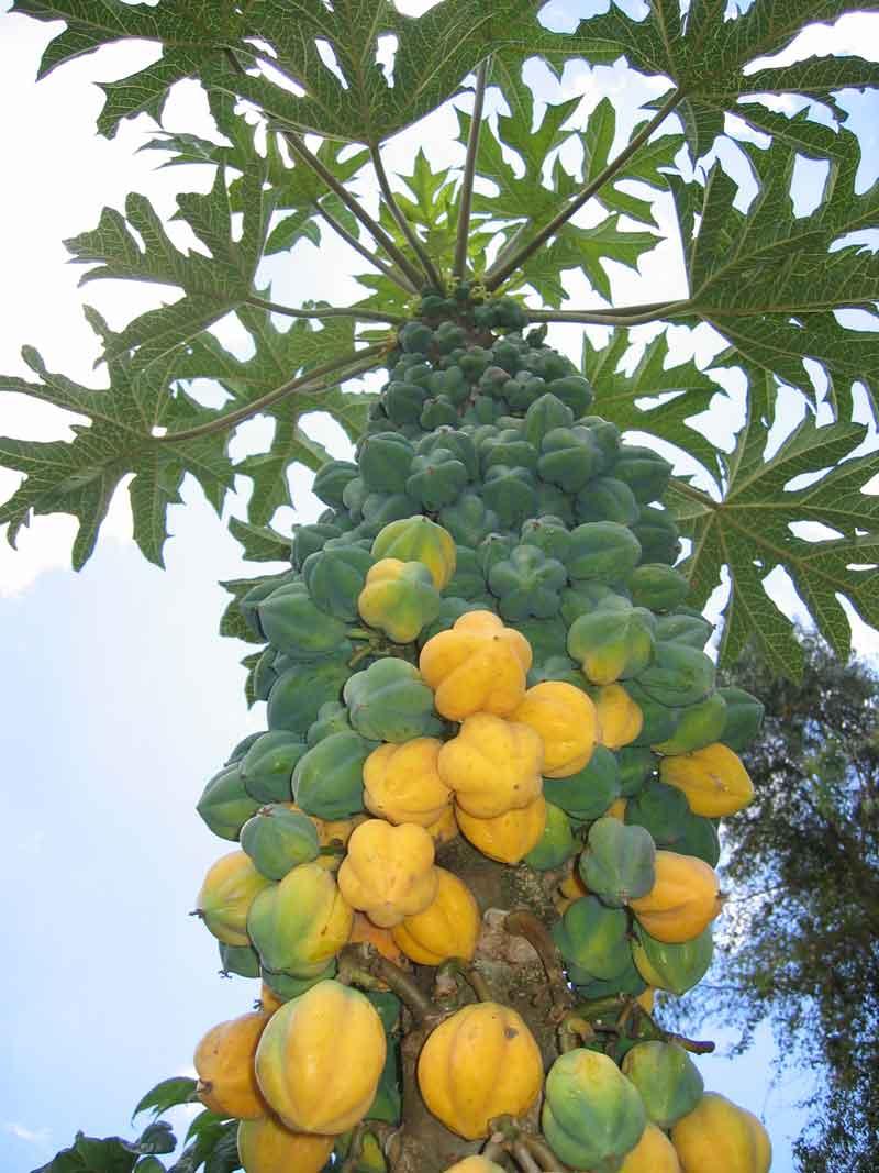 pohon buah carica